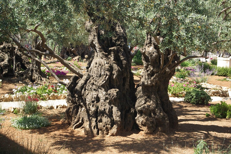 Misteri i jetëgjatësisë, pema e ullirit mund të rrojë përgjithnjë
