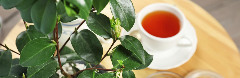 Një diskutim rreth çajit jeshil, çajit të zi dhe kafesë